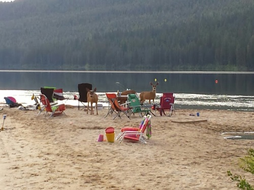 Several local deer greeted me at the swim start.